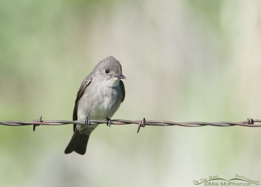 Western Wood-Pewee hawking from barbed wire
