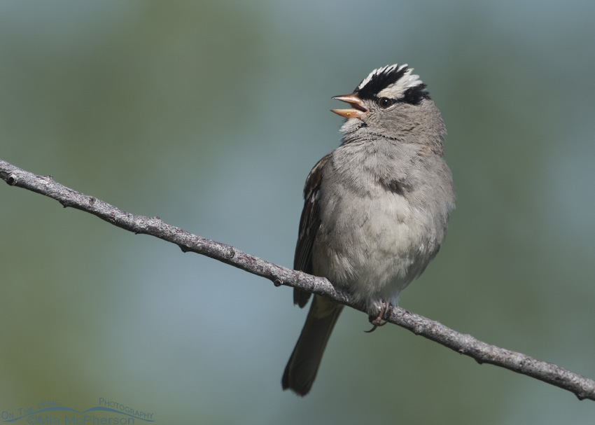 Singing adult White-crowned Sparrow at Red Rock Lakes NWR