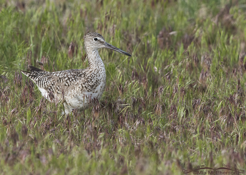 A Willet wading through Cheatgrass