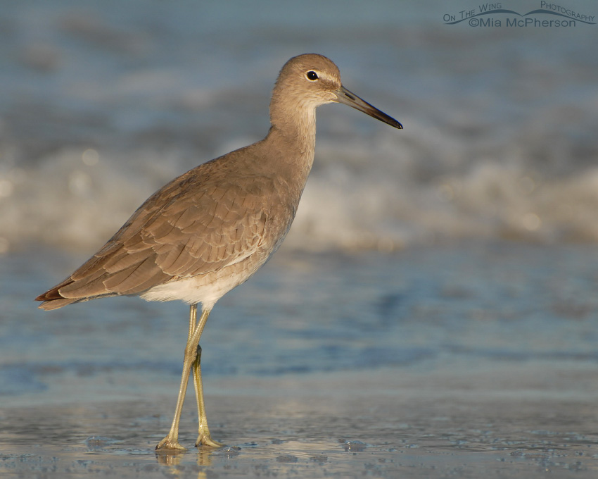 Western Willet on the shoreline of the Gulf