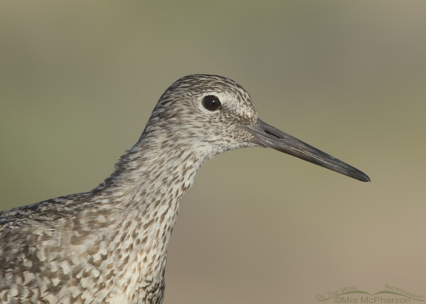 Western Willet Portrait