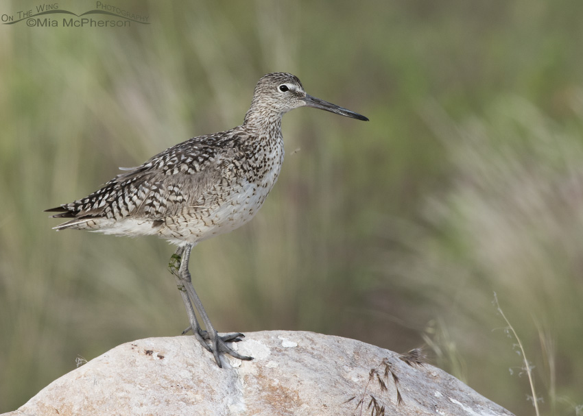 A Willet on a rock being bugged