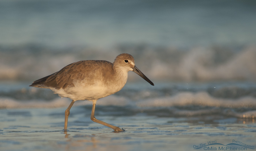 Shades of Blue and a Willet Too