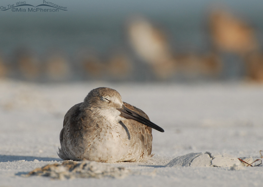 Sleeping Willet