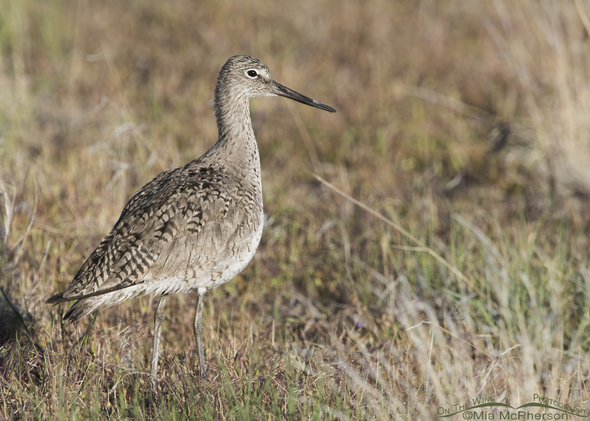 A lone Willet on Antelope Island State Park