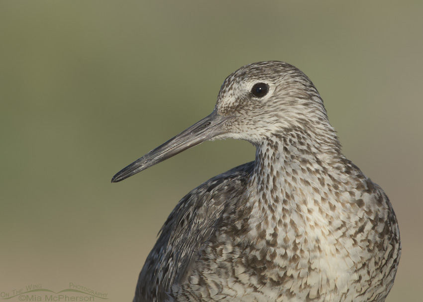 Portrait of a Willet
