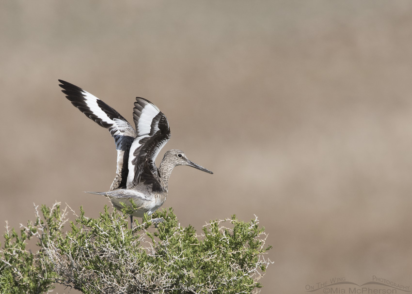 A Western Willet trying to regain its balance on a Greasewood