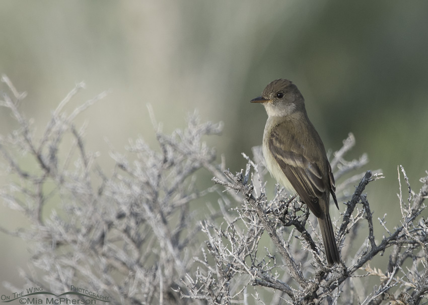 A Willow Flycatcher on Antelope Island