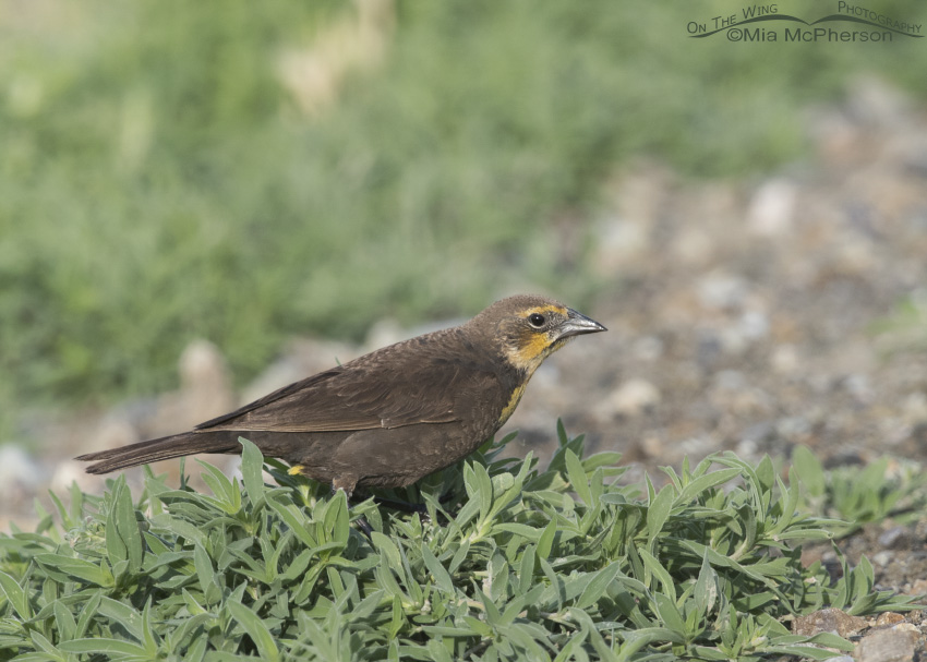 A female Yellow-headed Blackbird looking for prey