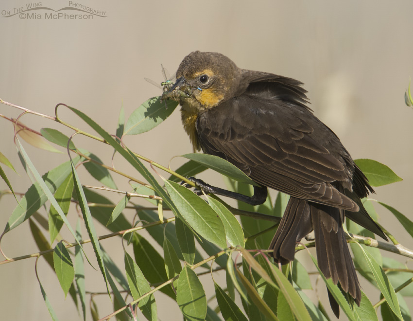 Female Yellow-headed Blackbird with food for her chicks