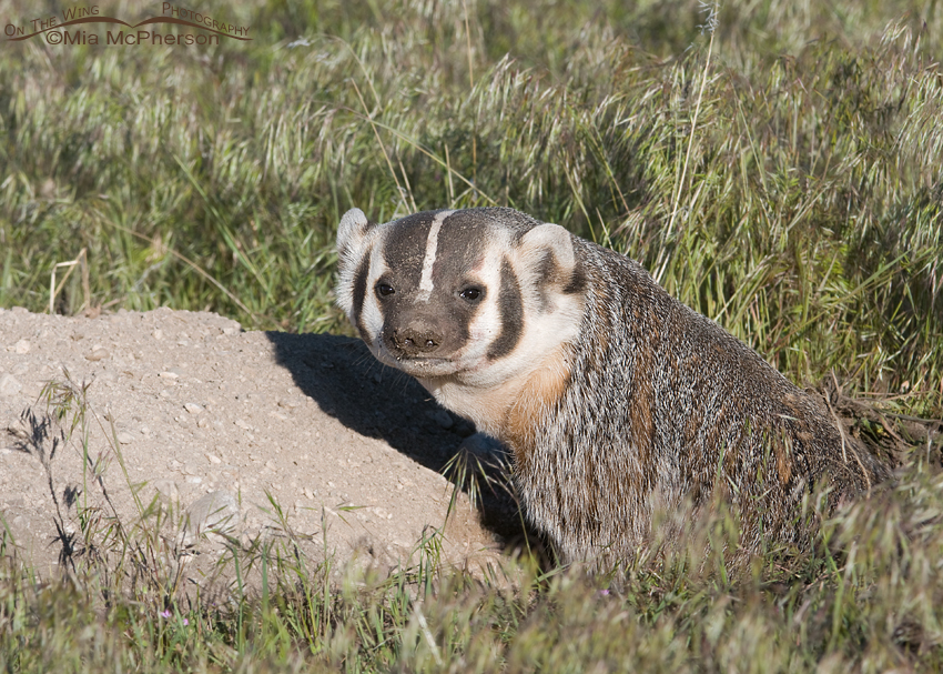 American Badger exiting its burrow