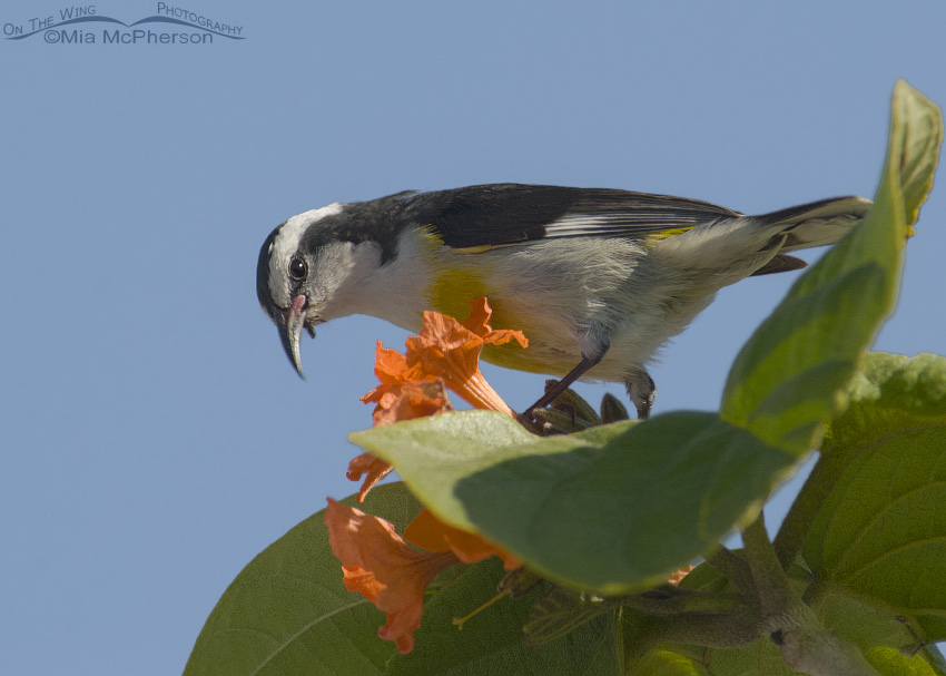 Bananaquit on a flowered perch