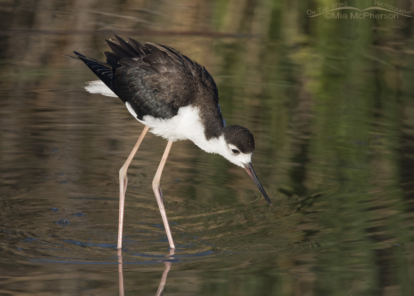 Black-necked Stilt juvenile at Bear River NWR