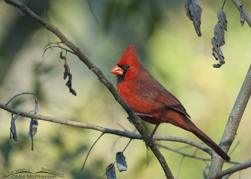 Male Northern Cardinal in dappled light