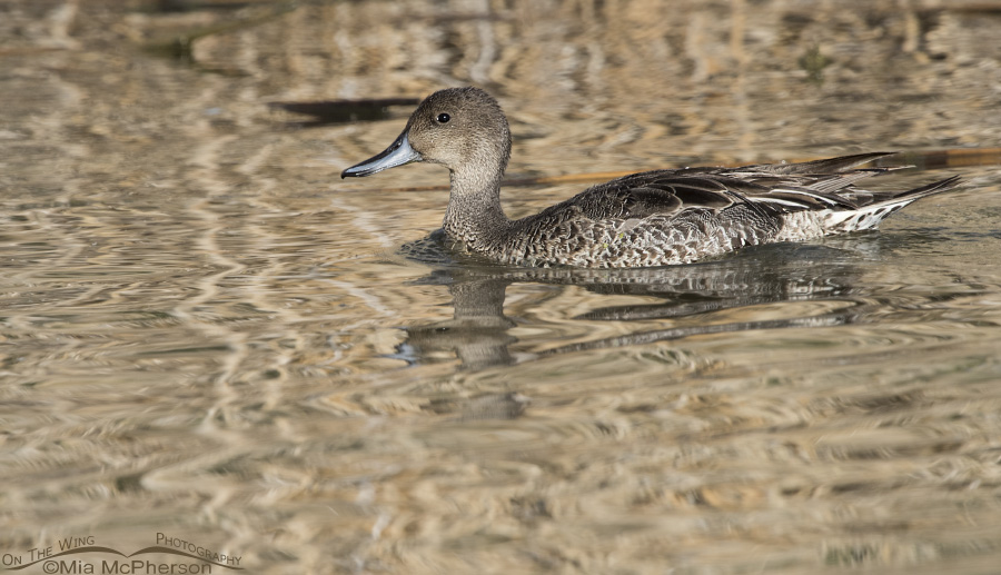 Juvenile drake Northern Pintail in eclipse plumage?