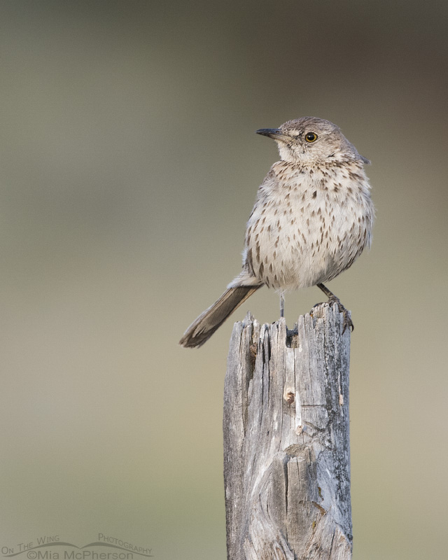 A young Sage Thrasher perched on a fence post