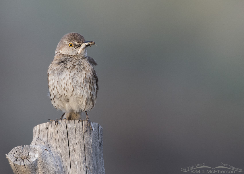 Adult Sage Thrasher with prey in Tooele County