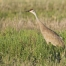A Sandhill Crane right after the sunrise