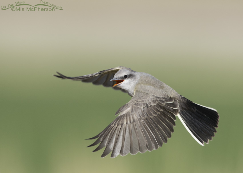 Juvenile Western Kingbird hovering in flight