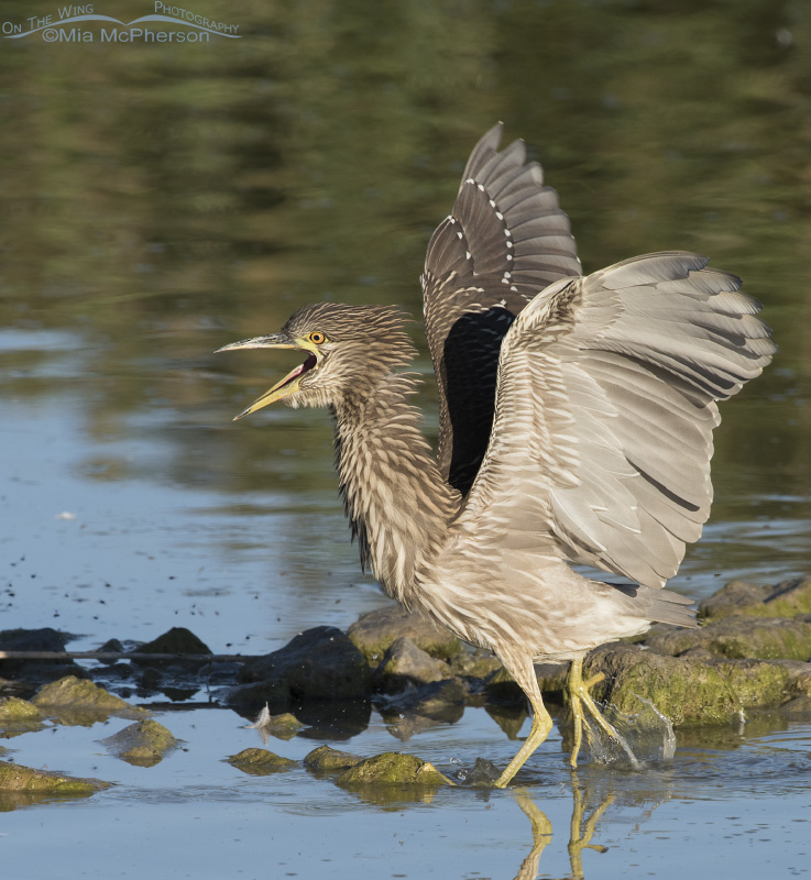 A juvenile Black-crowned Heron in a defensive posture