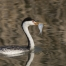 A Clark's Grebe and its prey