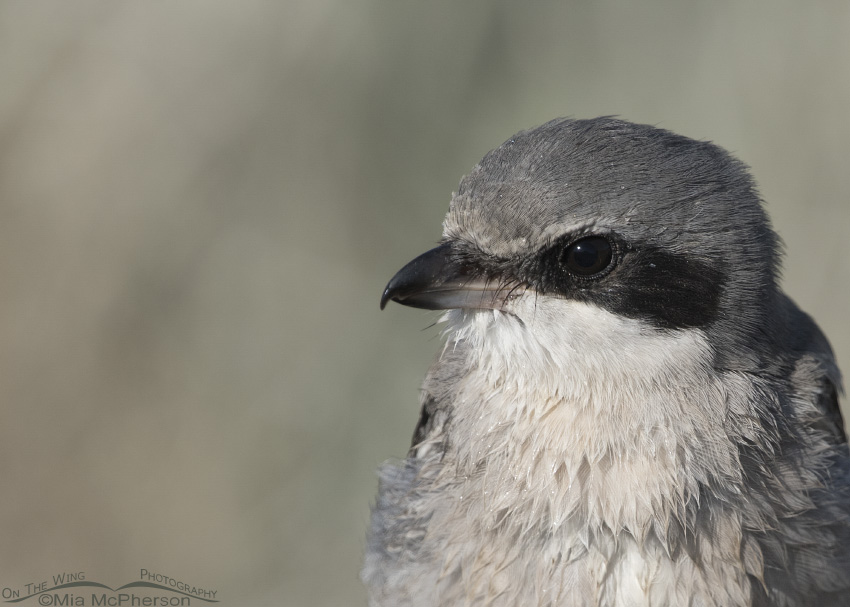 A portrait of a wet juvenile Loggerhead Shrike