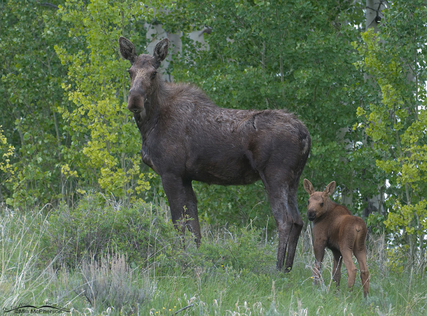 Moose with calf in Montana