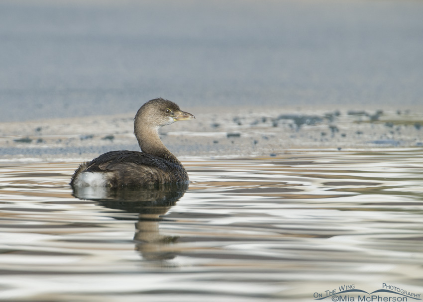 Pied-billed Grebe in icy water
