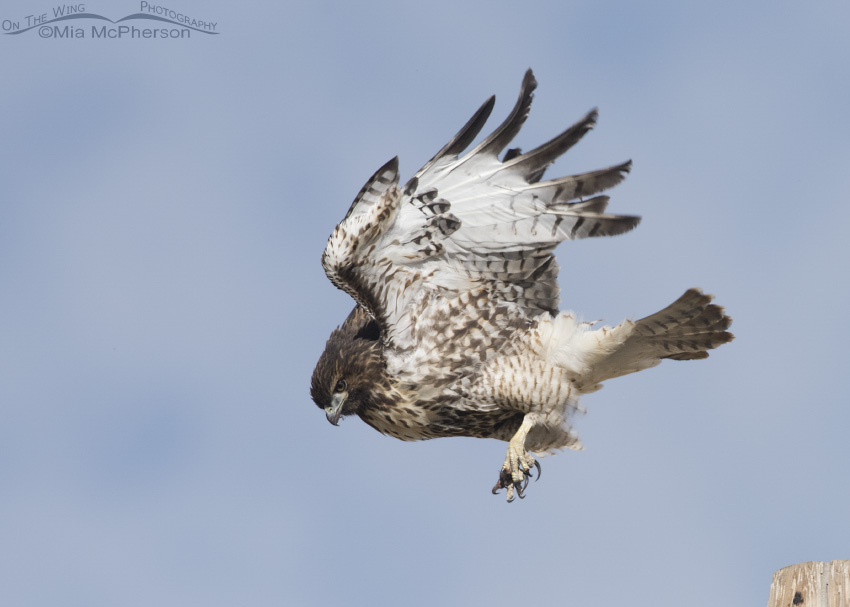 Juvenile Red-tailed Hawk rousing after lift off