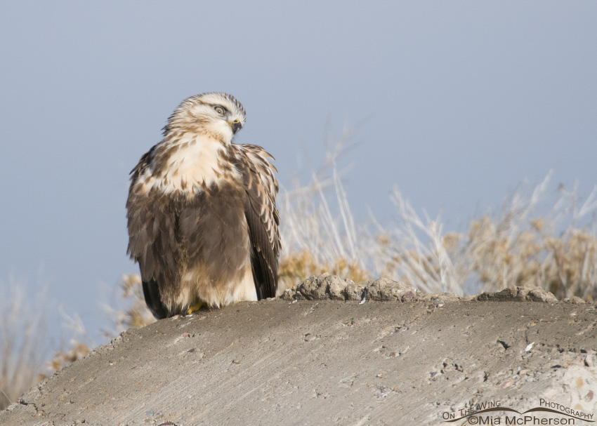 Funny look from a Rough-legged Hawk