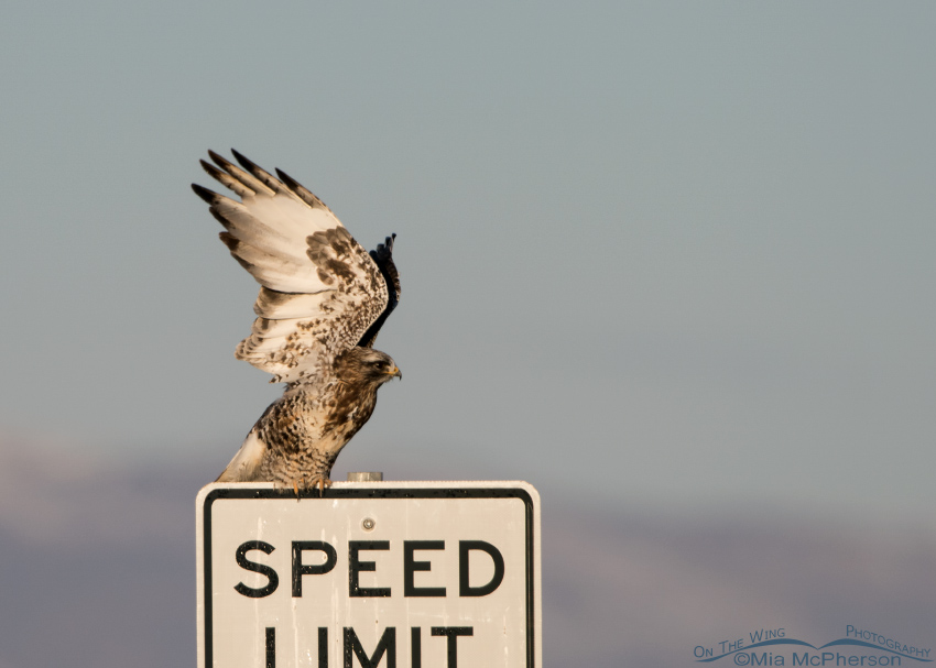 A male Rough-legged Hawk lifting off from a speed limit sign