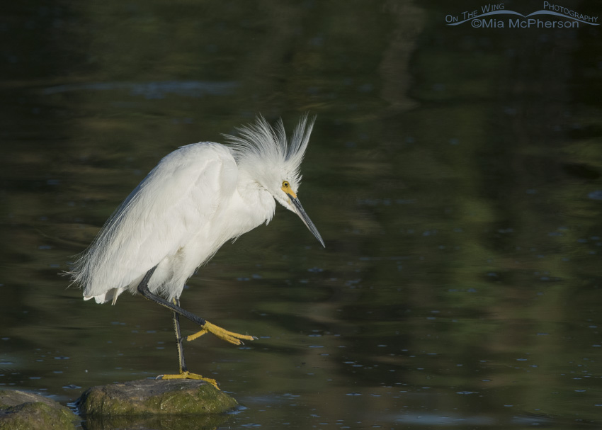 A Snowy Egret about to scratch
