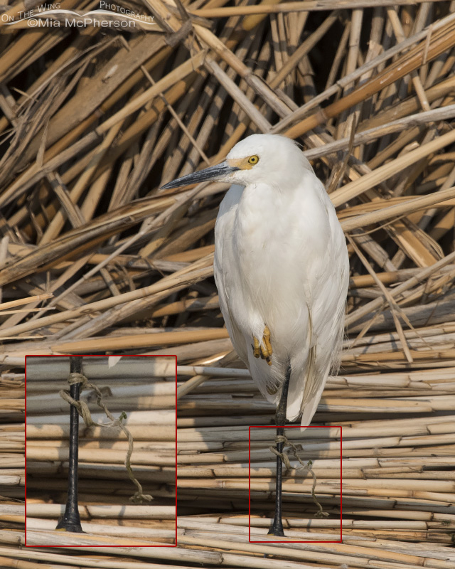 A Snowy Egret with rope around its leg