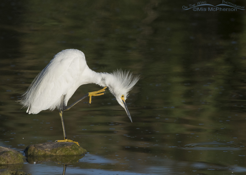A Snowy Egret scratching