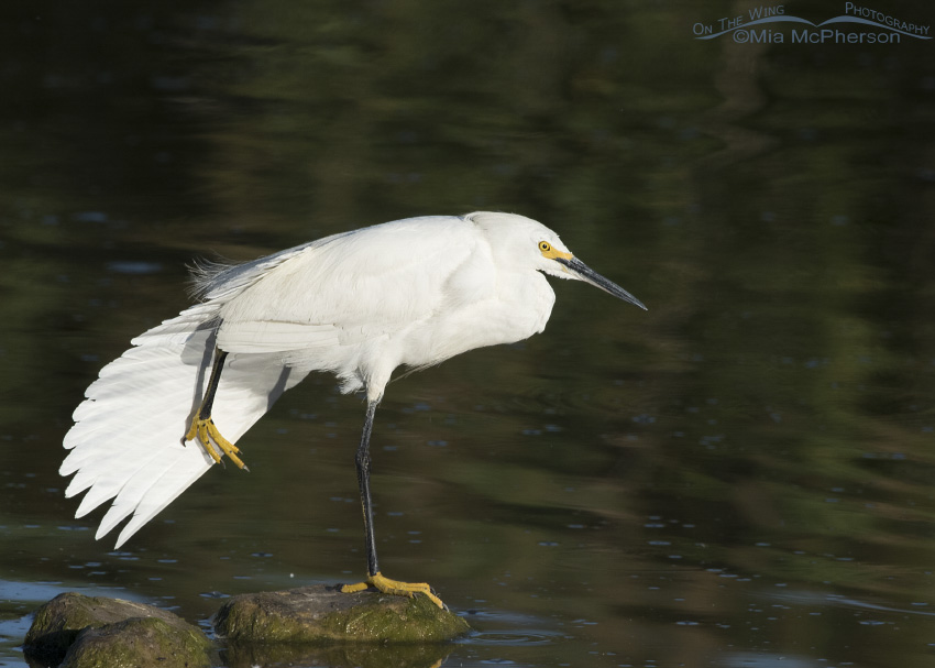 A really big stretch from a Snowy Egret