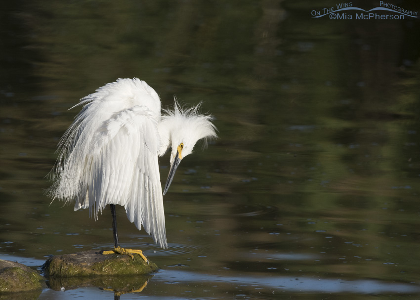 A Snowy Egret preening on a perch in the Bear River