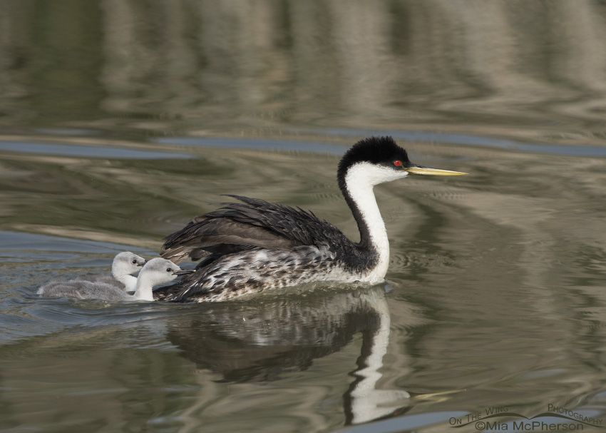 Western Grebe chicks after being dumped into the water