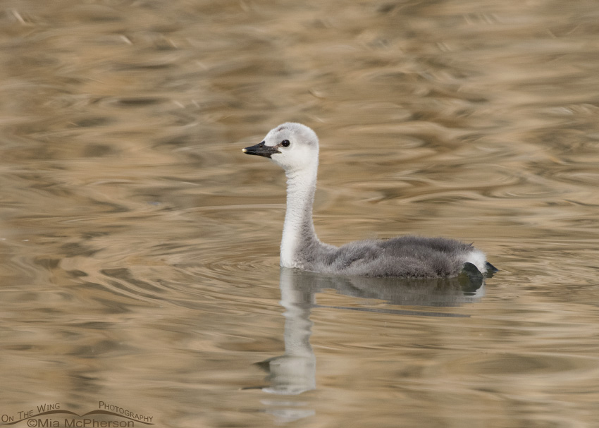 A juvenile Western Grebe and golden reflections