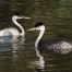 A Western Grebe with a feather on its bill