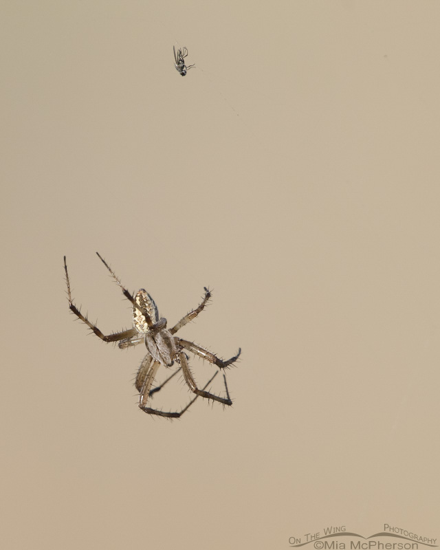 A dead Brine Fly and a Western Spotted Orbweaver