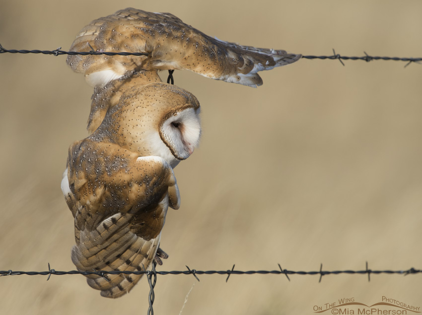 A Barn Owl caught on barb wire
