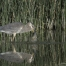 Great Blue Heron and a large Carp