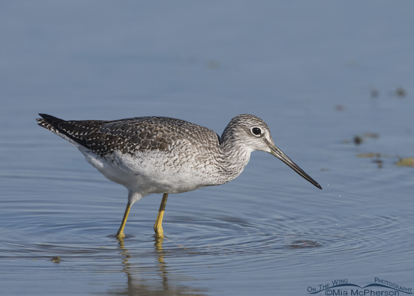 Foraging Greater Yellowlegs