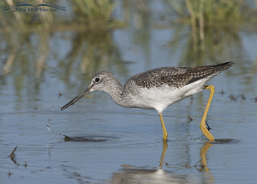 A Greater Yellowlegs with prey at the tip of its bill