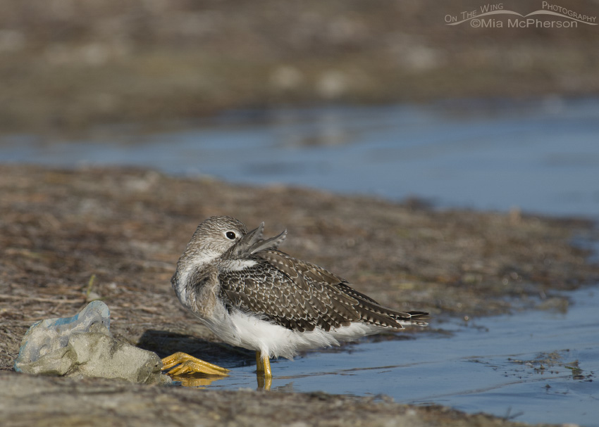 A Greater Yellowlegs resting next to trash