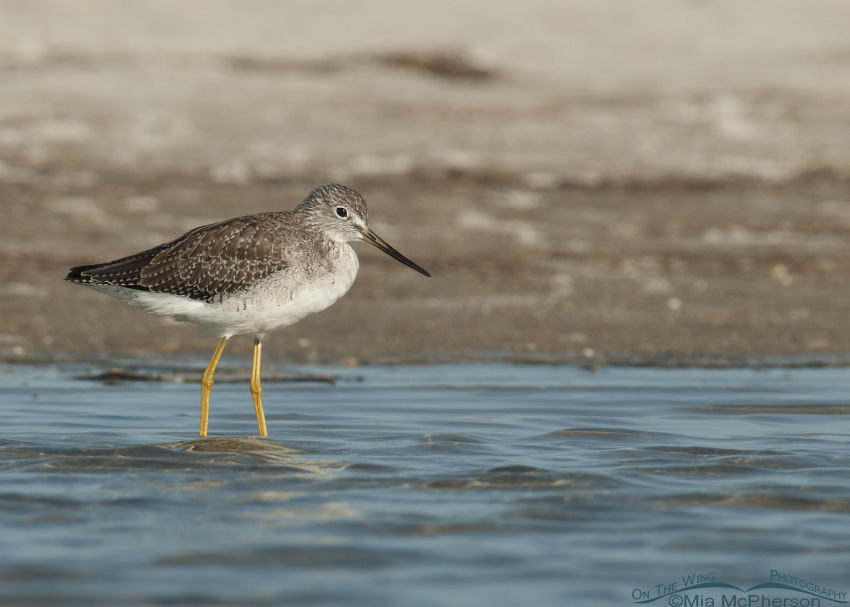 Yellowlegs at the south spit