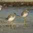 A Trio of Greater Yellowlegs next to a lagoon