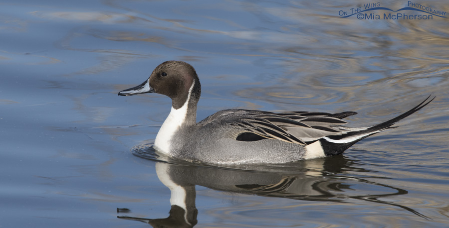 A Northern Pintail drake pano
