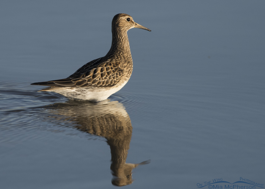 Pectoral Sandpiper wading in shallow water