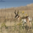 A Pronghorn Buck, wild Sunflowers and the Great Salt Lake